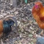 熱田神宮の神鶏