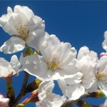 桜 2014